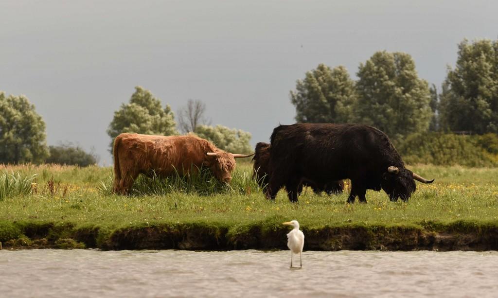Hooglanders langs de Slenk (foto. E Voss)